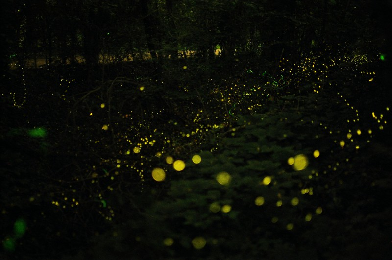 Fireflies Light Up the Forest at Night