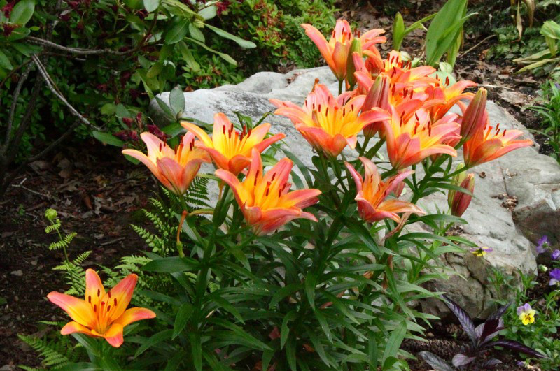 Asiatic Lillies Pigeon Forge