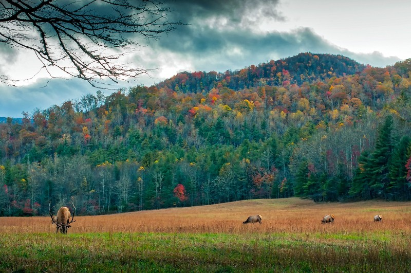 Elk against the Fall Leaves Backdrop